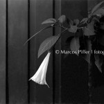 Flora – Analógico